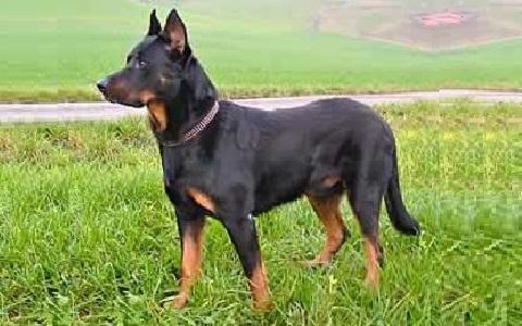Berger de Beauce - sheepdog from Beauce - Beauce Shepherd