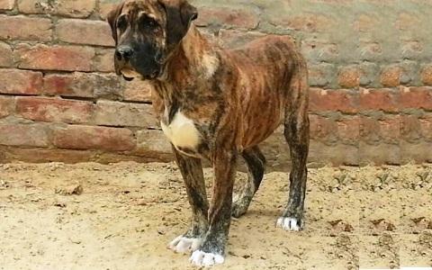 xopark1Mastiff-indienne—Alangu-Mastiff