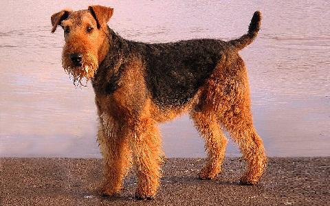 xopark2Airedale-Terrier
