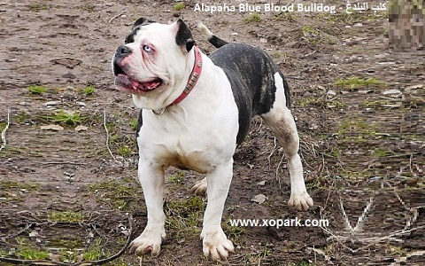 xopark2Alapaha-Blue—Blood-Bulldog