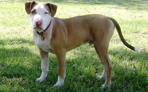 xopark2American-Pit-Bull-Terrier