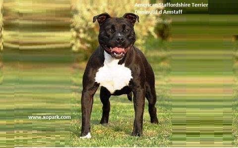 xopark2American-Staffordshire-Terrier