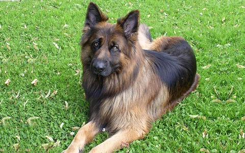 xopark2Berger-allemand—German-Shepherd