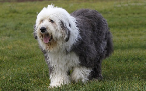 xopark2Berger-anglais—Bobtail—English-sheepdog—Berger-anglais—ancestral-Old—English-sheepdog