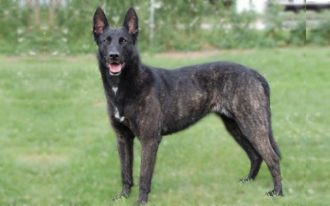 xopark2Berger-hollandais—Dutch-Shepherd-Dog