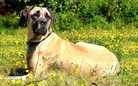 xopark2Mastiff-indienne—Alangu-Mastiff