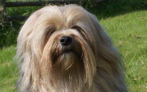 xopark2Petit-lion—Löwchen—Little-Lion-Dog
