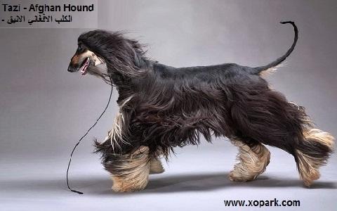 xopark3Afghan-Hound—Tazi