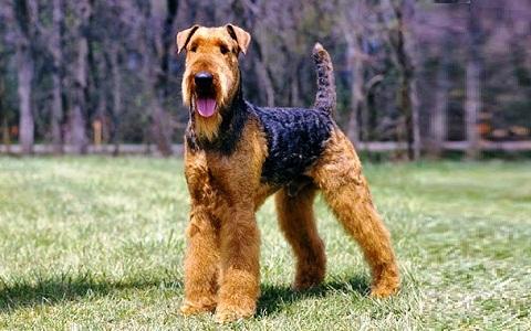 xopark3Airedale-Terrier