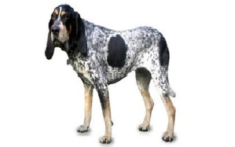 xopark3American-English-Coonhound—English-Coonhounds—Redtick-Coonhound
