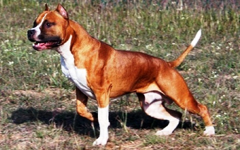 xopark3American-Staffordshire-Terrier