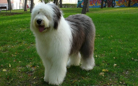 xopark3Berger-anglais—Bobtail—English-sheepdog—Berger-anglais—ancestral-Old—English-sheepdog