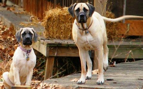 xopark3Mastiff-indienne—Alangu-Mastiff