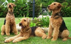xopark4Airedale-Terrier