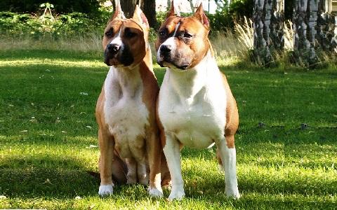 xopark4American-Staffordshire-Terrier