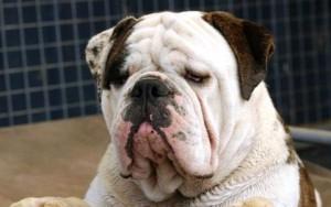 Australian Bulldog