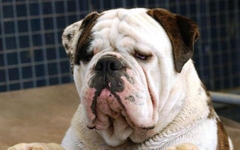 xopark4Australian-Bulldog