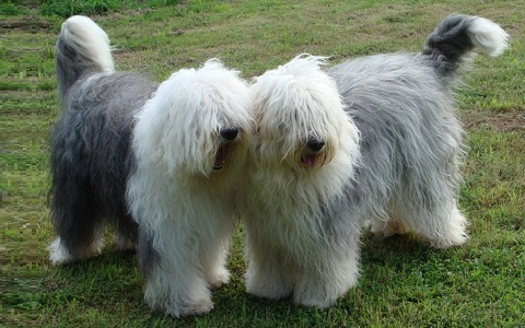 xopark4Berger-anglais—Bobtail—English-sheepdog—Berger-anglais—ancestral-Old—English-sheepdog
