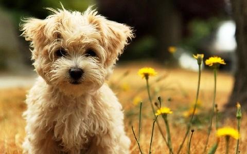xopark4affenpinscher—Griffon-singe—Zwergaffen—Terrier-singe