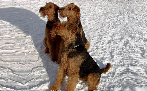 xopark5Airedale-Terrier