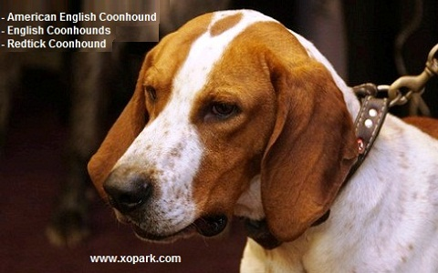 xopark5American-English-Coonhound—English-Coonhounds—Redtick-Coonhound