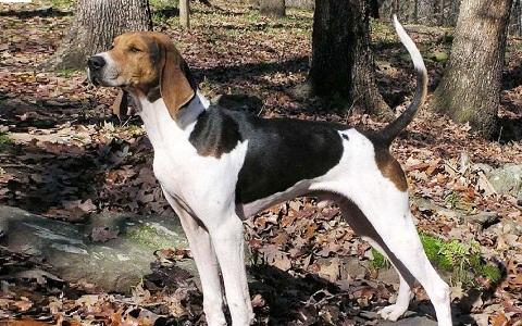 xopark5American-Foxhound