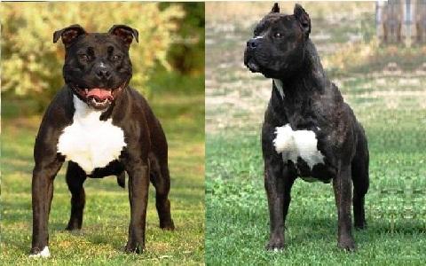 xopark5American-Staffordshire-Terrier