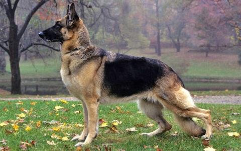 xopark5Berger-allemand—German-Shepherd