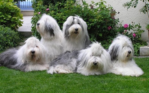 xopark5Berger-anglais—Bobtail—English-sheepdog—Berger-anglais—ancestral-Old—English-sheepdog