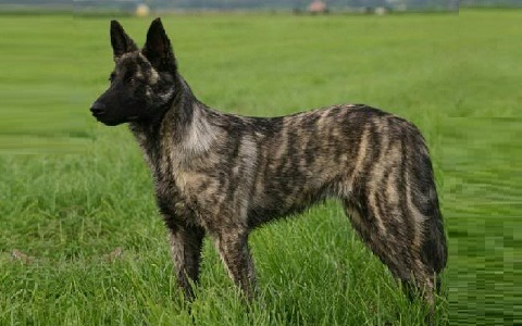 xopark5Berger-hollandais—Dutch-Shepherd-Dog