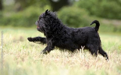 xopark5affenpinscher—Griffon-singe—Zwergaffen—Terrier-singe