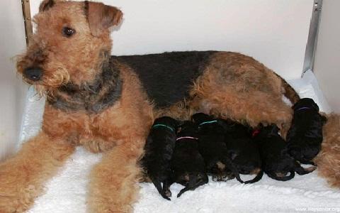 xopark6Airedale-Terrier