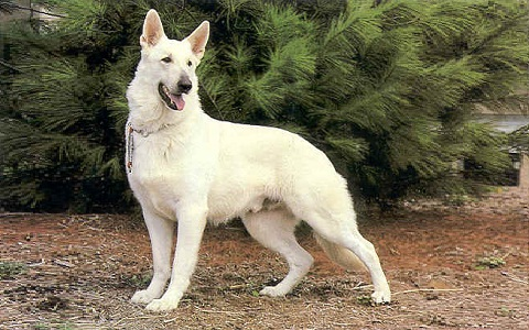 xopark6Berger-allemand—German-Shepherd