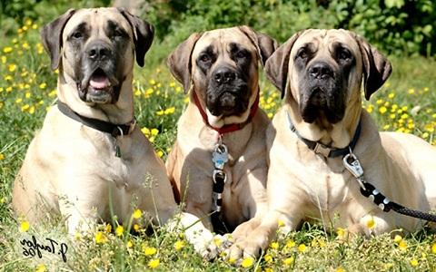 xopark6Bouledogue-américain—American-Mastiff—American-Bulldog