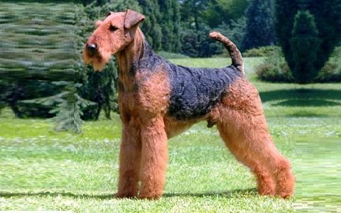 xopark7Airedale-Terrier