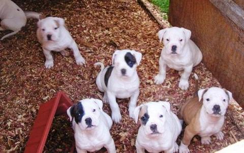 xopark7American-Bulldog