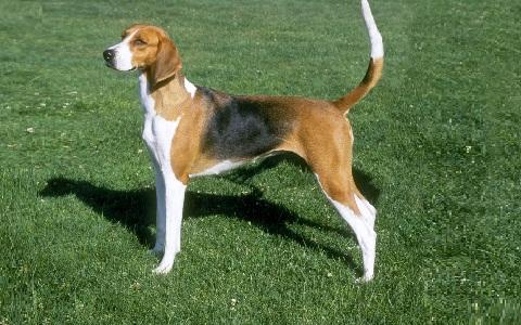 xopark7American-Foxhound