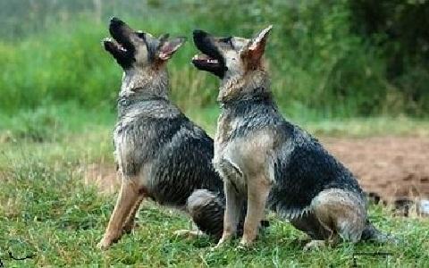 xopark7Berger-allemand—German-Shepherd