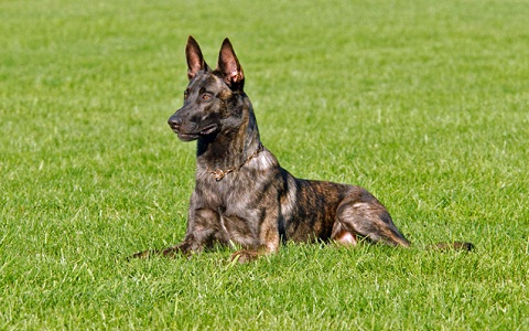 xopark7Berger-hollandais—Dutch-Shepherd-Dog