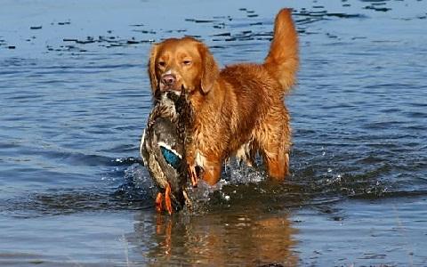 xopark7Retriever-de-la-Nouvelle-ecosse—Nova-Scotia—Nova-Scotia-Duck-Tolling-Retriever
