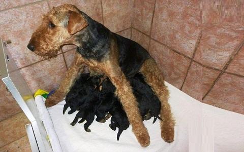 xopark8Airedale-Terrier