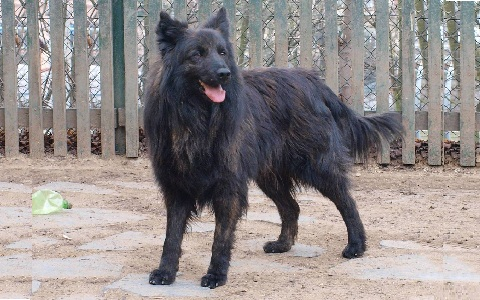 xopark8Berger-hollandais—Dutch-Shepherd-Dog