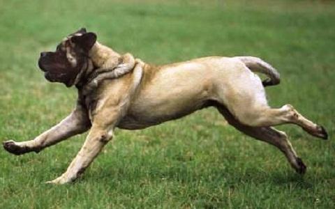 xopark8Bouledogue-américain—American-Mastiff—American-Bulldog