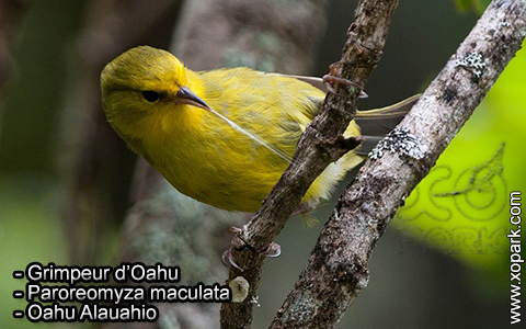Grimpeur d'Oahu – Paroreomyza maculata – Oahu Alauahio – xopark1