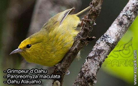 Grimpeur d'Oahu – Paroreomyza maculata – Oahu Alauahio – xopark2