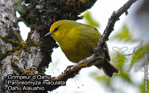 Grimpeur d'Oahu – Paroreomyza maculata – Oahu Alauahio – xopark3