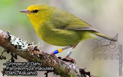 Grimpeur d'Oahu – Paroreomyza maculata – Oahu Alauahio – xopark5