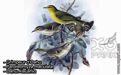 Grimpeur d'Oahu – Paroreomyza maculata – Oahu Alauahio – xopark6