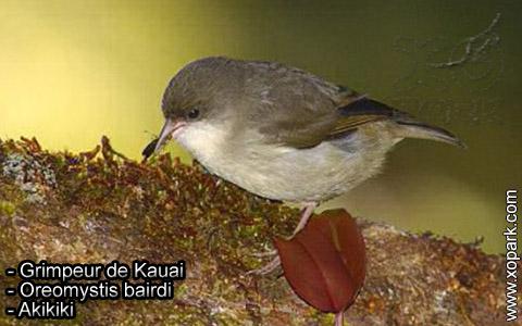 Grimpeur de Kauai – Oreomystis bairdi – Akikiki – xopark1