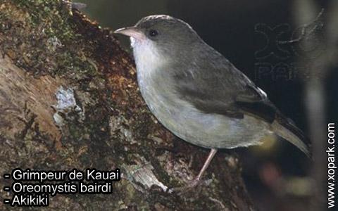 Grimpeur de Kauai – Oreomystis bairdi – Akikiki – xopark2